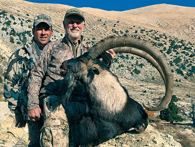 Bezoar ibex alive